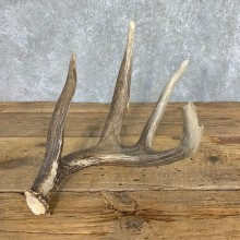 Whitetail Deer Antler Shed For Sale #21499 @ The Taxidermy Store