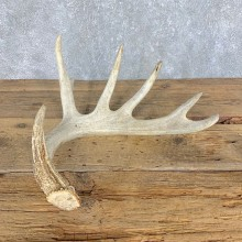 Whitetail Deer Antler Shed For Sale #21509 @ The Taxidermy Store