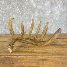 Whitetail Deer Antler Shed For Sale #23971 @ The Taxidermy Store
