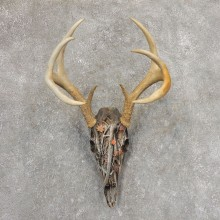 Whitetail Deer Dipped Skull Mount For Sale #21342 @ The Taxidermy Store