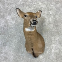 Whitetail Deer Doe Shoulder Mount For Sale #23260 @ The Taxidermy Store
