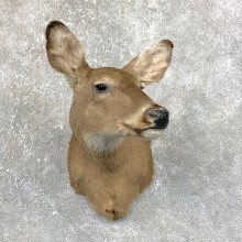 Whitetail Deer Doe Shoulder Mount For Sale #23886 @ The Taxidermy Store