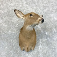 Whitetail Deer Doe Shoulder Mount For Sale #23946 @ The Taxidermy Store