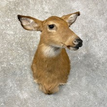 Whitetail Deer Doe Shoulder Mount For Sale #24620 @ The Taxidermy Store
