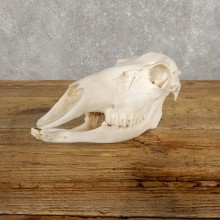 Whitetail Deer Doe Skull European Mount #19924 For Sale @ The Taxidermy Store