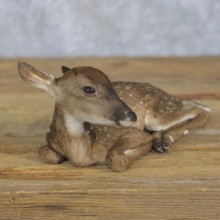 Whitetail Deer Fawn Life-Size Mount For Sale #22198 - The Taxidermy Store