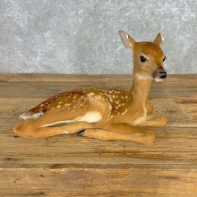 Whitetail Deer Fawn Life-Size Mount For Sale #23312 - The Taxidermy Store