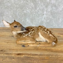 Whitetail Deer Fawn Life-Size Mount For Sale #23916 - The Taxidermy Store
