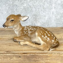 Whitetail Deer Fawn Life-Size Taxidermy Mount For Sale