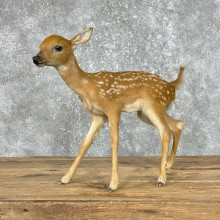 Whitetail Deer Fawn Life-Size Mount For Sale #25286 - The Taxidermy Store
