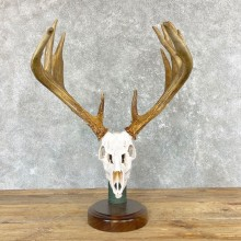 Whitetail Deer Full Skull European Mount #24959 For Sale @ The Taxidermy Store