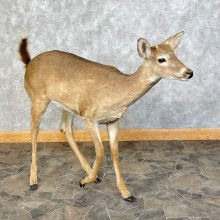 Whitetail Deer Life-Size Taxidermy Mount For Sale
