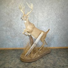 Whitetail Deer Life Size Mount #24382 For Sale @ The Taxidermy Store