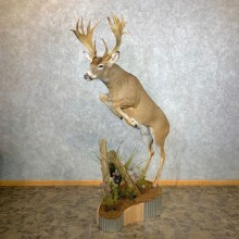 Whitetail Deer Life Size Taxidermy Mount #23345 For Sale @ The Taxidermy Store