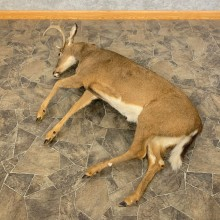 Whitetail Deer Movie Prop Mount For Sale #23939 @ The Taxidermy Store