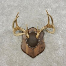 Whitetail Deer Antler Plaque Mount For Sale #17308  @ The Taxidermy Store