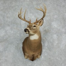 Whitetail Deer Shoulder Mount #17972 For Sale - The Taxidermy Store