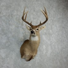 Whitetail Deer Shoulder Mount #18070 For Sale - The Taxidermy Store