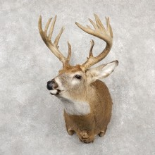 Whitetail Deer Shoulder Mount #18770 For Sale - The Taxidermy Store