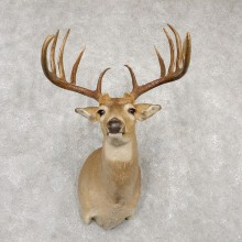 Whitetail Deer Shoulder Mount #18771 For Sale - The Taxidermy Store