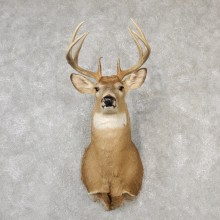 Whitetail Deer Shoulder Mount #19093 For Sale - The Taxidermy Store