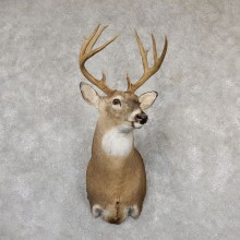 Whitetail Deer Shoulder Mount #19298 For Sale - The Taxidermy Store