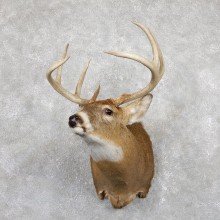 Whitetail Deer Shoulder Mount #19456 For Sale - The Taxidermy Store