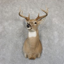 Whitetail Deer Shoulder Mount #19534 For Sale - The Taxidermy Store