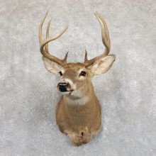 Whitetail Deer Shoulder Mount #19544 For Sale - The Taxidermy Store