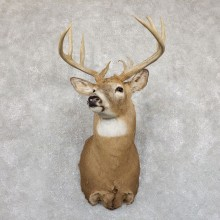 Whitetail Deer Shoulder Mount #19548 For Sale - The Taxidermy Store