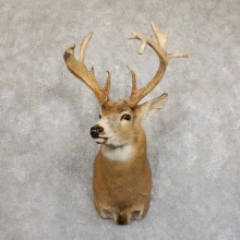 Whitetail Deer Shoulder Mount #19553 For Sale - The Taxidermy Store