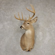 Whitetail Deer Shoulder Mount #20524 For Sale - The Taxidermy Store