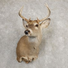 Whitetail Deer Shoulder Mount #21077 For Sale - The Taxidermy Store