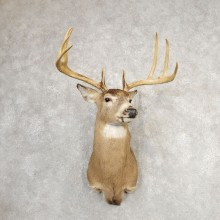 Whitetail Deer Shoulder Mount #21079 For Sale - The Taxidermy Store