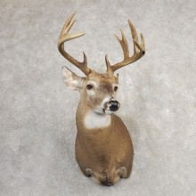 Whitetail Deer Shoulder Mount #21081 For Sale - The Taxidermy Store