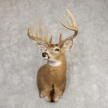 Whitetail Deer Shoulder Mount #21292 For Sale - The Taxidermy Store