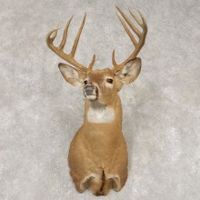Whitetail Deer Shoulder Mount #21439 For Sale - The Taxidermy Store