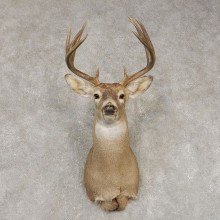 Whitetail Deer Shoulder Mount #21447 For Sale - The Taxidermy Store
