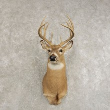 Whitetail Deer Shoulder Mount #21474 For Sale - The Taxidermy Store