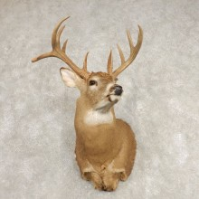 Whitetail Deer Shoulder Mount #21585 For Sale - The Taxidermy Store