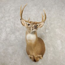 Whitetail Deer Shoulder Mount #21658 For Sale - The Taxidermy Store
