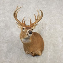 Whitetail Deer Shoulder Mount #21660 For Sale - The Taxidermy Store