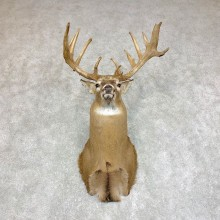 Whitetail Deer Shoulder Mount #21786 For Sale - The Taxidermy Store