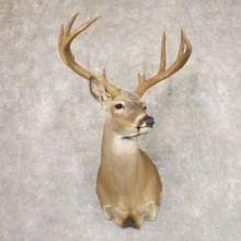Whitetail Deer Shoulder Mount #22178 For Sale - The Taxidermy Store