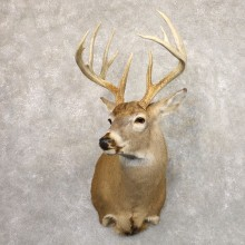 Whitetail Deer Shoulder Mount #22191 For Sale - The Taxidermy Store