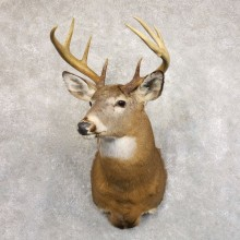 Whitetail Deer Shoulder Mount #22235 For Sale - The Taxidermy Store