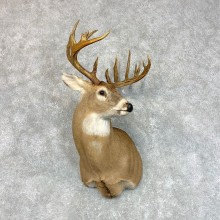 Whitetail Deer Shoulder Mount #22802 For Sale - The Taxidermy Store