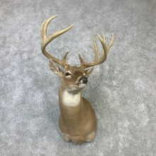 Whitetail Deer Shoulder Mount #23109 For Sale - The Taxidermy Store