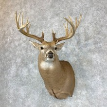Whitetail Deer Shoulder Mount #23381 For Sale - The Taxidermy Store