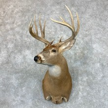 Whitetail Deer Shoulder Mount #23515 For Sale - The Taxidermy Store